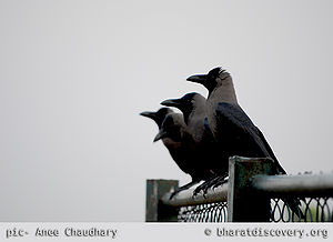 4-crow-meeting.jpg